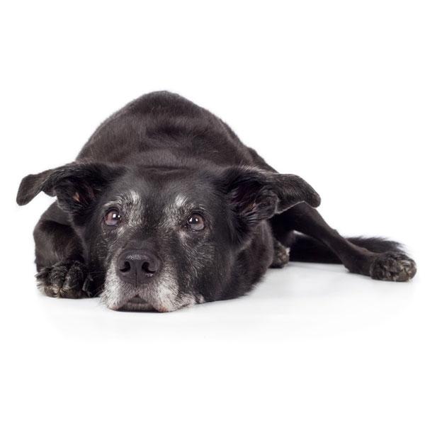 Senior hundefoder