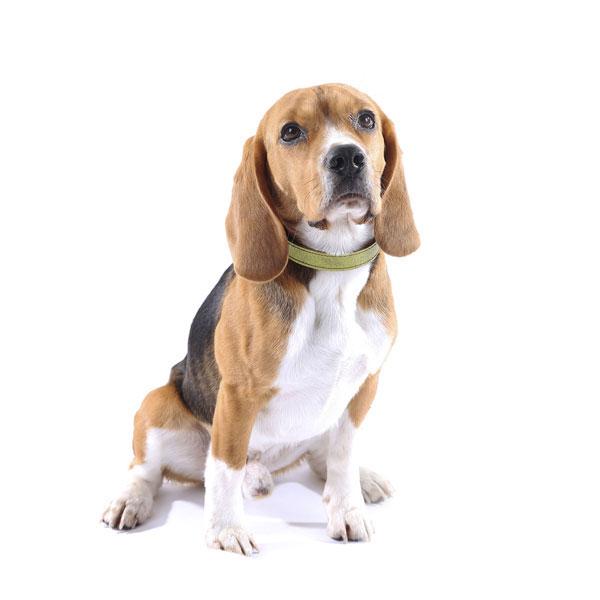 Hundefoder til Beagle