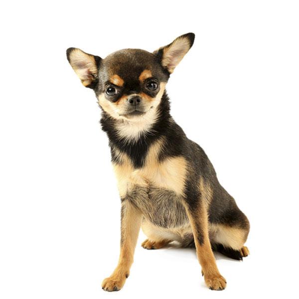 Hundefoder til Chihuahua