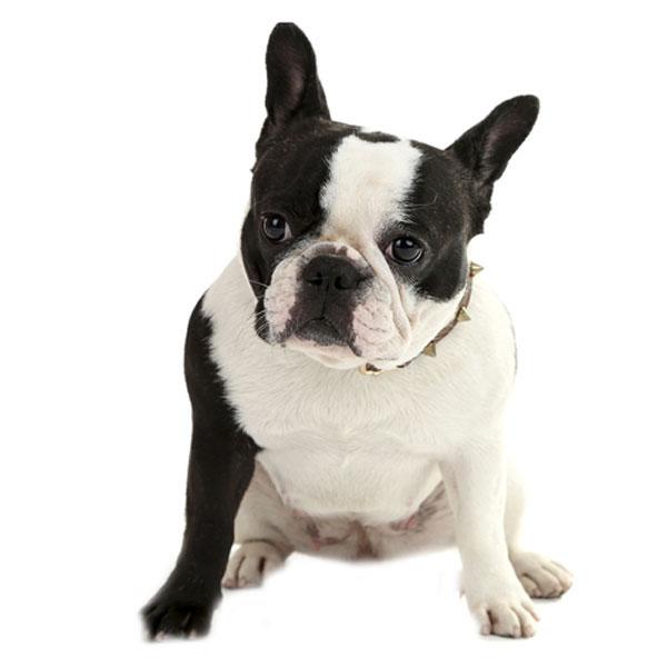Hundefoder til Fransk Bulldog