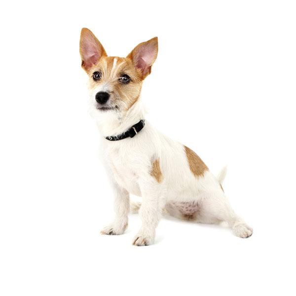 Hundefoder til Jack Russell Terrier