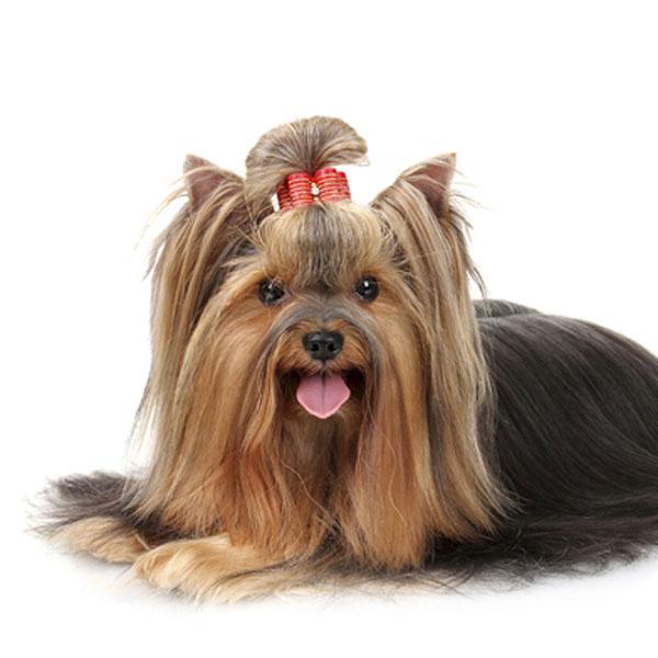 Hundefoder til Yorkshire terrier