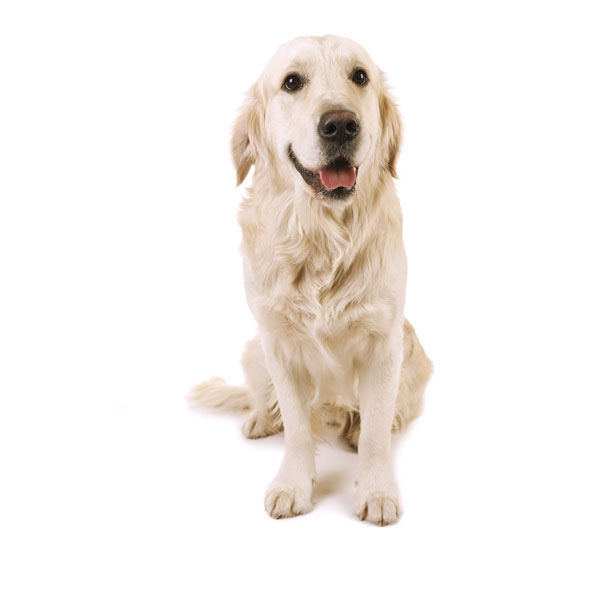 Hundefoder til Labrador